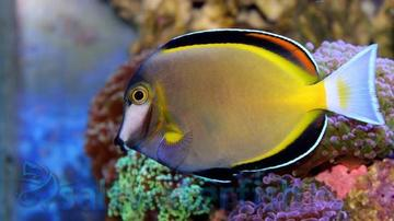 Powder Brown Tang - Super Special