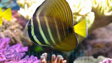 Sailfin Tang - Limit 1 Super Special