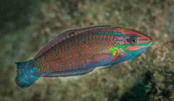 Christmas Wrasse; Indo Pacific