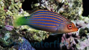 Six Line Wrasse - South Asia