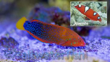 Red Coris Wrasse - Central Pacific