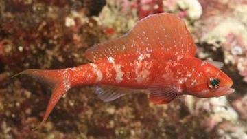 Squirei Anthias - Male