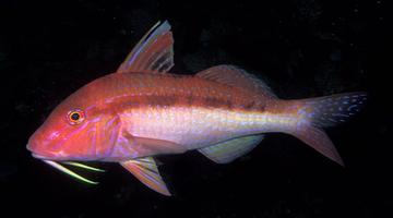 Assorted Goatfish