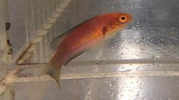 Crescent Tail Fairy Wrasse - Adult  - Limit 1