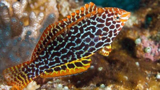 Leopard Wrasse - Central Pacific