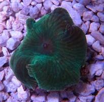 Mushroom Coral: Single Colored (Assorted)