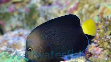 Yellowtail Poma Angelfish