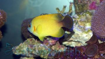 Blacktail Lemonpeel Hybrid Angelfish: Super