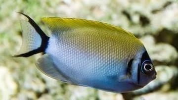 Masked Swallowtail Angelfish: Female