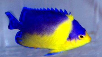 Venustus Angelfish