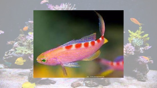 Flavoguttatus Anthias