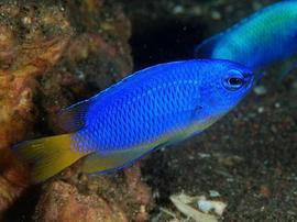 Electric Blue Damsel
