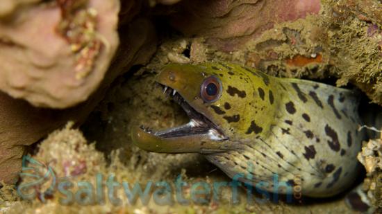 Yellow Head (Fimbriated) Moray Eel