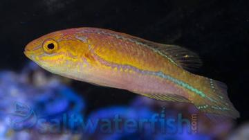 Pintail Fairy Wrasse - Male - Limit 1 - Super Special SAVE 57%