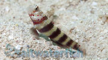 Bumblebee Goby - Super Special SAVE 40% - Limit 1