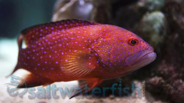 Miniatus Grouper: South Asia