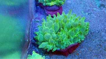 Bubble Tip Anemone: Color Purple Base
