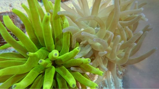Condylactis Anemone: Color - Atlantic