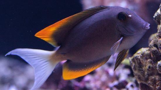 flame fin tomini tang tangs saltwater fish