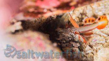 Spike Fin Goby