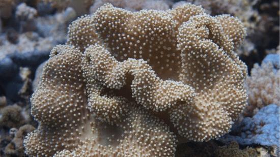 Umbrella Leather Coral