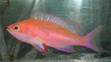 Randalli Anthias - Male