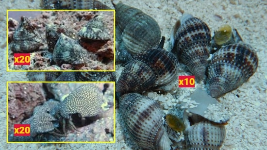 Featured Clean Up Crew 20 Tiger Turbo Snails, 20 Red Leg Reef Hermits, 10 Nassarius Snails Large