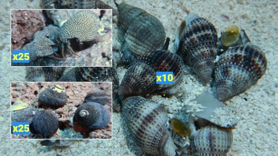 Featured Clean Up Crew 25 Margarita Snails, 25 Red Leg Reef Hermits, 10 Nassarius Snails Large