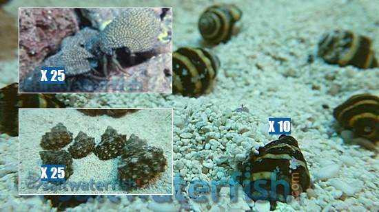 Featured Clean Up Crew 25 Mexican Turbo Snails, 25 Red Leg Reef Hermit Crabs, 10 Bumble Bee Snails