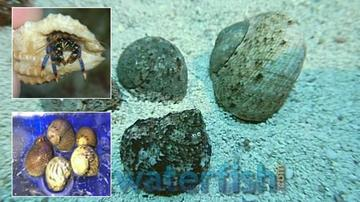 Featured Clean Up Crew 25 Tropical Turbo Snails, 20 Blue Leg Reef Hermits, 15 Nerite Snails