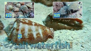 Featured Clean Up Crew 25 Turbo Astrea Snails, 25 Red Leg Reef Hermit Crabs, 3 Tiger Sand Conchs