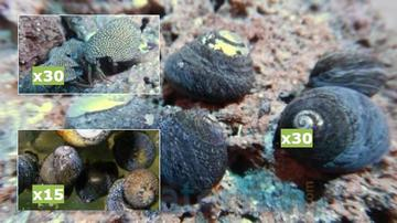 Featured Clean Up Crew 30 Margarita Turbo Snails, 30 Red Leg Reef Hermit Crabs, 15 Nerite Snails
