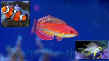Featured Value Pack 1 Ocellaris Clownfish, 1 McCosker Flasher Wrasse, 1 Staghorn Yellow Damsel