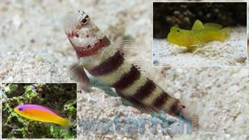 Featured Value Pack 1 Yellow Watchman Goby, 1 Purpleback Pseudochromis, 1 Bumblebee Goby