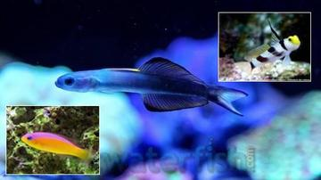 Fish Super Pack!  1 Barbershop Goby, 1 Purpleback Pseduchromis, 1 Scissortail Goby