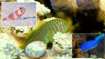 Fish Super Pack!  1 Orange Banded Prawn Goby, 1 Green War Paint Clown Goby, 1 Electric Blue Damsel