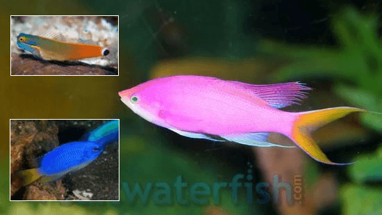 Fish Super Pack!  1 Purple Queen Anthias, 1 Tailspot Blenny, 1 Electric Blue Damsel