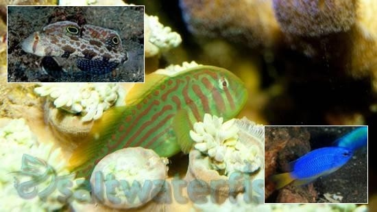 Fish Super Pack!  1 Twinspot Goby, 1 Green War Paint Clown Goby, 1 Electric Blue Damsel