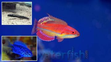 Reef Safe Fish Super Pack! 1 McCosker Flasher Wrasse, 1 Springeri Damsel, 1 Engineer Goby