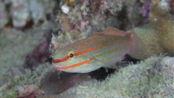 Orange Marked Goby