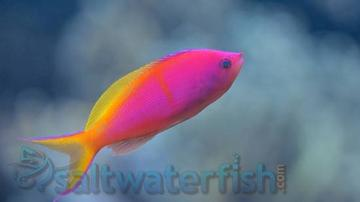 Bartlett's Anthias: Female - Marshall Islands