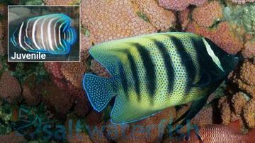 Six Bar Angelfish: Juvenile