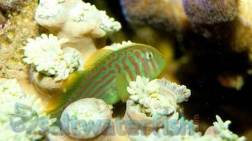 Green War Paint Clown Goby; Fiji