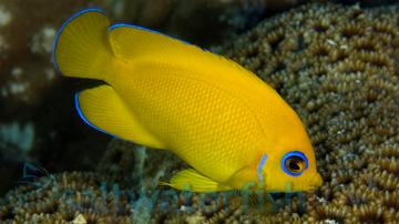 Lemonpeel Angelfish; Marshall Islands
