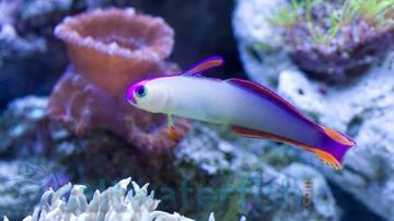 Purple Firefish Goby