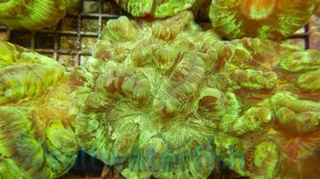 Round Brain Coral: Green Metallic
