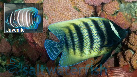 Six-Banded Angelfish