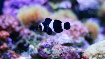 Black and White Ocellaris Clownfish - Captive Bred