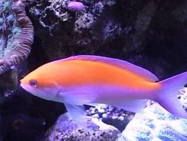 Bicolor Anthias (Fancy Bass) - Hawaii