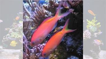 Ignitus Anthias: Male - Super Special
